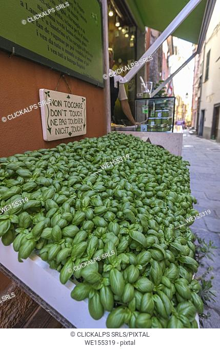 Fresh basil ingredient of typical pesto alla genovese sauce in the shops of Portovenere La Spezia province Liguria Italy Europe