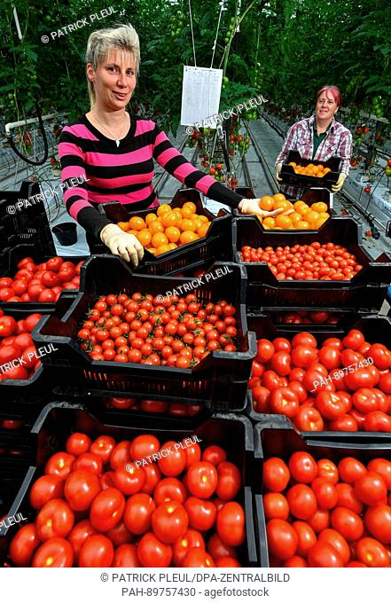 Jeannette Rohde (L) and Jutta Rohde arrange tomatoes in a greenhouse of the company Fontana Gartenbau GmbH in Manschnow, Germany, 07 April 2017
