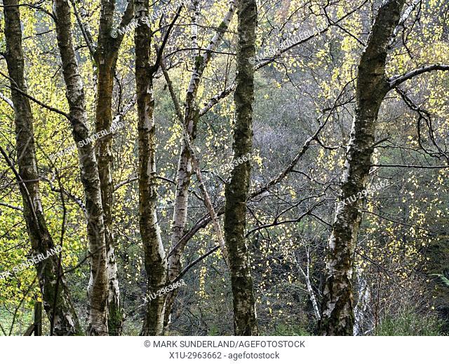 Birch Trees in Middle Dean Woods near Pecket Well Hebden Bridge West Yorkshire England