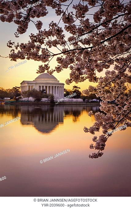 Cherry blossoms and the Jefferson Memorial at dawn in Washington DC, USA