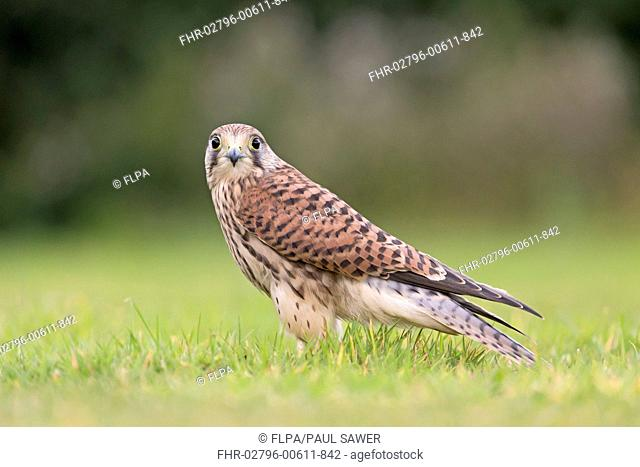 Common Kestrel (Falco tinnunculus) juvenile, standing on grass, Suffolk, England, August (captive)