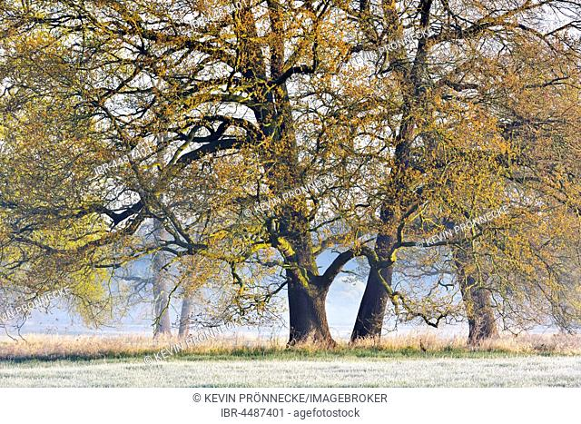 Solitary oak trees, English oak (Quercus robur) in spring, leaf shoots, foggy atmosphere, Middle Elbe Biosphere Reserve, Saxony-Anhalt, Germany