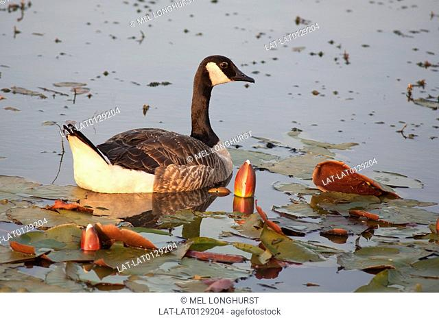 The Canada Goose, Branta Canadensis, is a common site on water, lakes and rivers in Southern England. The species winters in England in the 20th century rather...