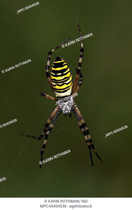 Wasp Spider (Argiope bruennichi) female in web, Overijssel, Netherlands