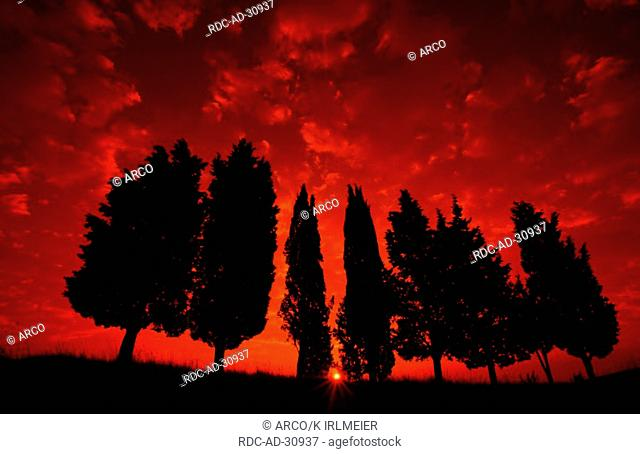 Italian Zypresses at sunrise Tuscany Italy Cupressus sempervirens