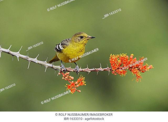 Scott's Oriole (Icterus parisorum), female feeding on blooming Ocotillo (Fouquieria splendens), Chisos Basin, Chisos Mountains, Big Bend National Park