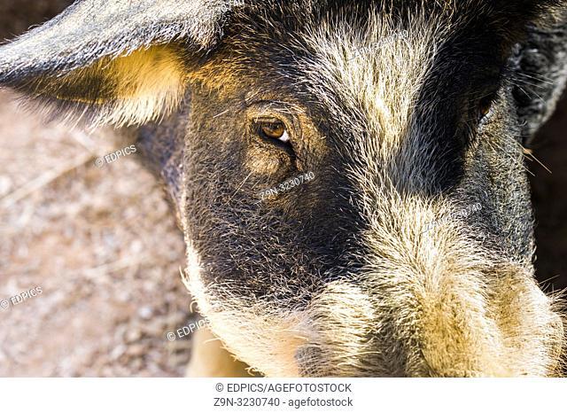 close-up of black iberian pig, alentejo, portugal