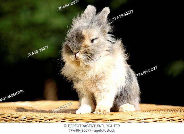 pygmy bunny