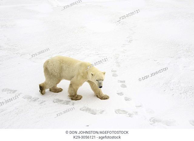 Polar Bear (Ursus maritimus) Wandering Hudson Bay coast waiting for sea ice, Wapusk NP, Cape Churchill, Manitoba, Canada