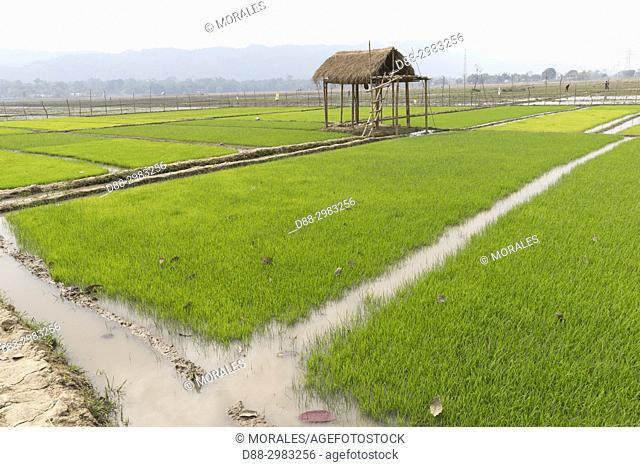 India, State of Assam, entrance of the Kaziranga National Park, nurseries of rice plants