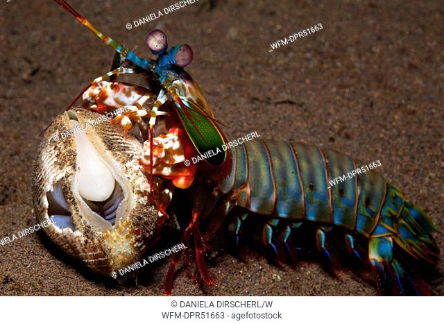 Mantis Shrimp cracking captured Clam, Odontodactylus scyllarus, Seraya, Bali, Indonesia