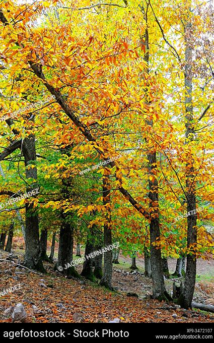 Chestnut forest (Castanea sativa). Sierra de San Pedro Natural Reserve. Cáceres province. Extremadura. Spain