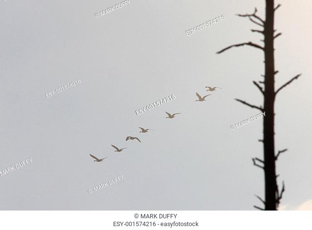 Canada Geese Flyng in the Mist