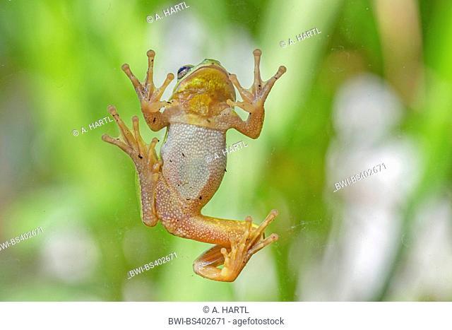 European treefrog, common treefrog, Central European treefrog (Hyla arborea), climbing at a glass pane