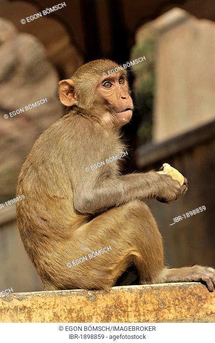 Rhesus macaque or Rhesus monkey (Macaca mulatta) in the Galta Gorge, Jaipur, Rajasthan, northern India, Asia