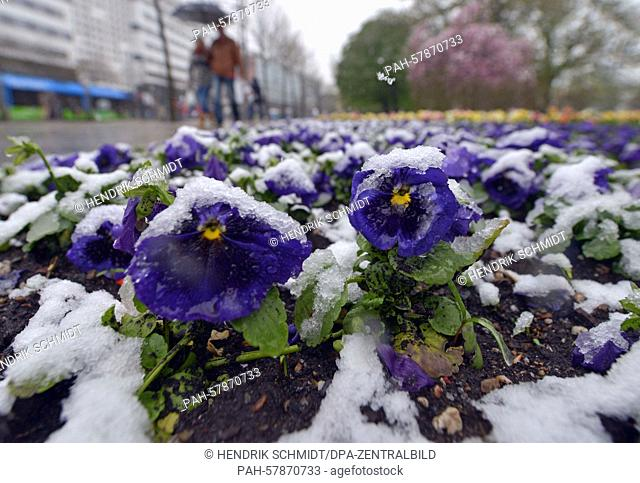 Snow covers pansies at Stadthallenpark in Chemnitz, Germany, 28 April 2015. After a warm spring week, winter has temporarily returned to the region