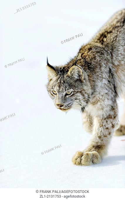 Canadian Lynx Lynx canadensis Captive, Bozeman, Montana, USA