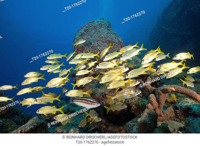 Shoal of Smallmouth Grunts, Haemulon chryargyreum, Caribbean Sea, Dominica