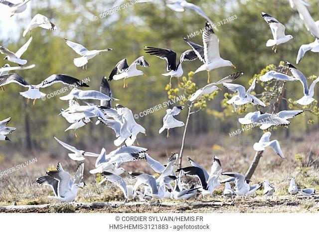 Finland, Kuhmo area, Kajaani, common gull (Larus canus), adult
