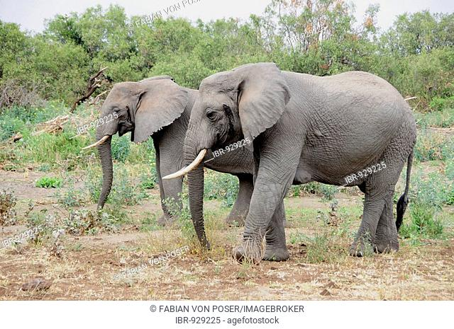 African Bush Elephants (Loxodonta africana), Lake Manyara National Park, Tanzania, Africa