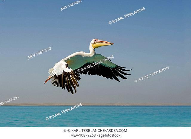 Great White Pelican - in flight (Pelecanus onocrotalus). Atlantic Ocean - Namibia - Africa