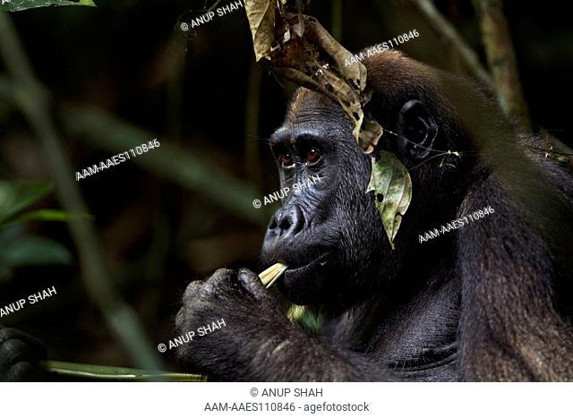 Western lowland gorilla juvenile female 'Bokata' aged 6 years feeding on plant stems (Gorilla gorilla gorilla). Bai Hokou