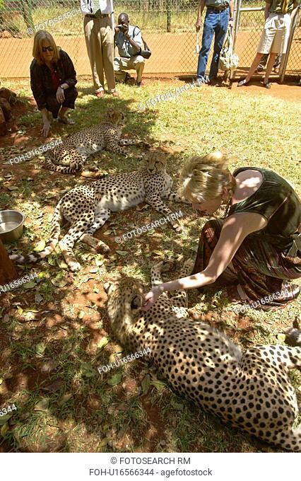 Cheetah in animal facility of Nairobi