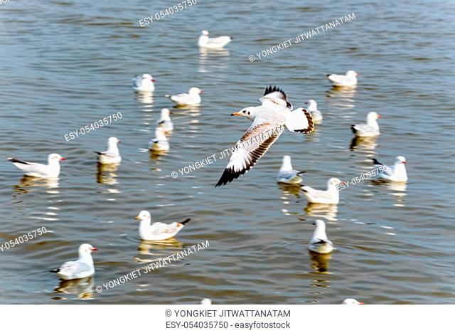 Flock of seagulls, animal in beautiful nature landscapes, many birds floating and flying on water surface of the sea at Bangpu Recreation Center