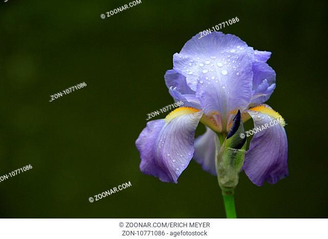 Deutsche Schwertlilie, Bearded Iris, Iris germanica