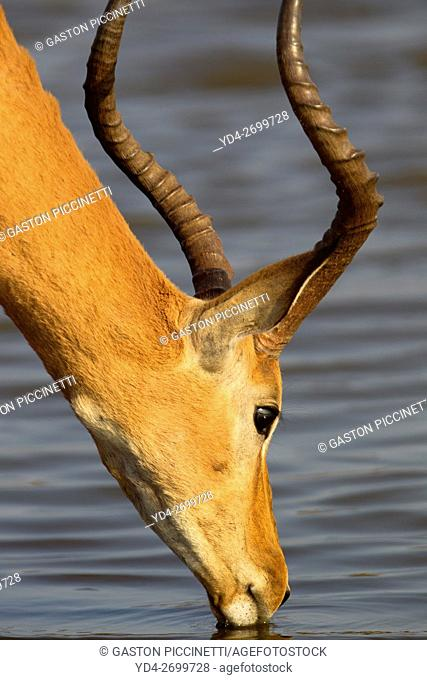 Impala (Aepyceros melampus) - Male, in the waterhole, Sunset Dam, Kruger National Park, Soputh Africa