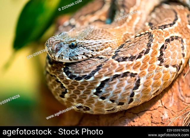 Russell's viper (Daboia russelii) is a species of venomous snake in the family Viperidae
