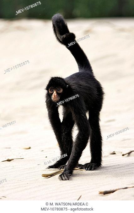 Black Spider Monkey (Ateles paniscus)