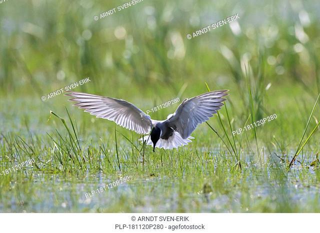 Whiskered tern (Chlidonias hybrida / Chlidonias hybridus) catching damselfly in marshland, migratory bird breeding on inland lakes, marshes in Europe