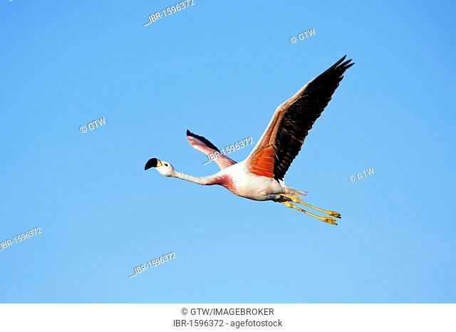Andean Flamingo (Phoenicoparrus andinus) in flight, Laguna de Chaxa, Atacama desert, Chile, South America