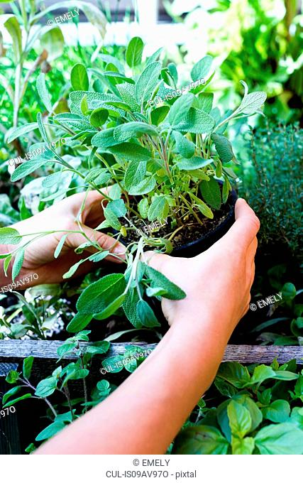 Woman holding herb in pot, close up