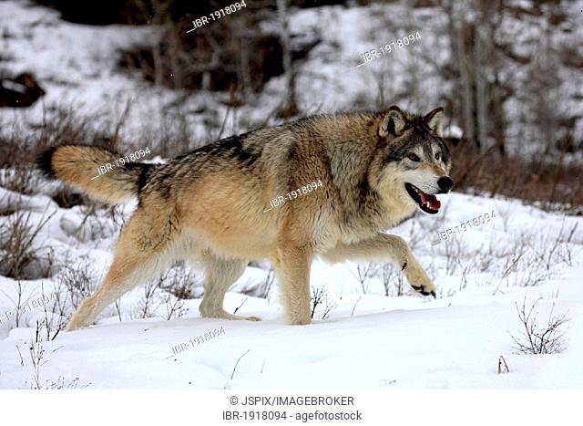 Wolf (Canis lupus), foraging, winter, snow, Montana, USA