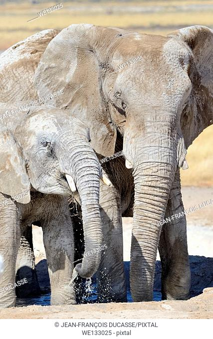 African elephants (Loxodonta africana), adult female and calf, covered with dried mud, drinking at Newbroni waterhole, Etosha National Park, Namibia, Africa