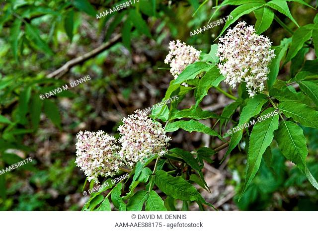 Red Elderberry (Sambucus pubens) Great Smoky Mountains National Park
