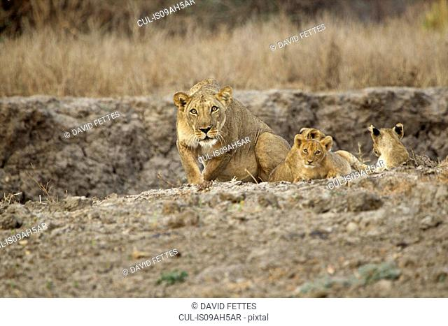 Protective lioness - panthera leo - deciding whether to charge
