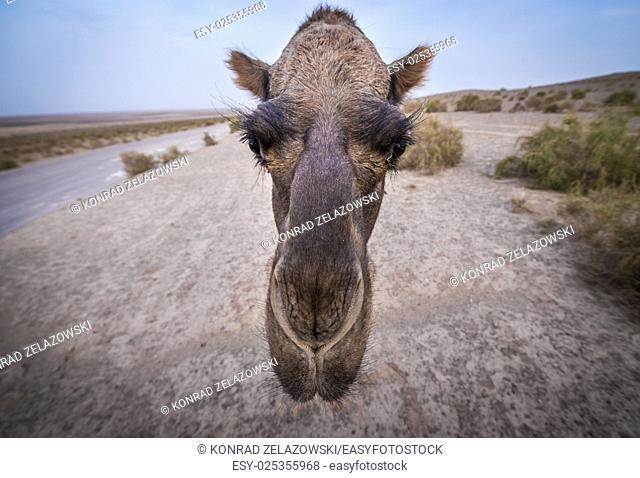 Portrait of camel on Maranjab Desert in Iran