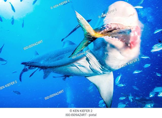 Lemon shark eating tuna tail