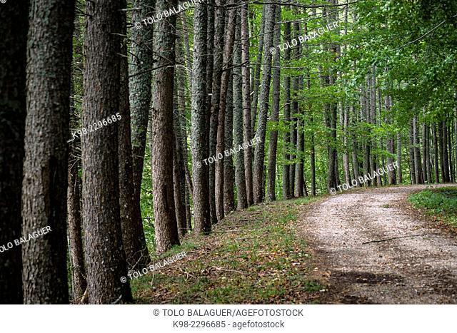 Irabia trail, Selva de Irati, Navarre, Spain