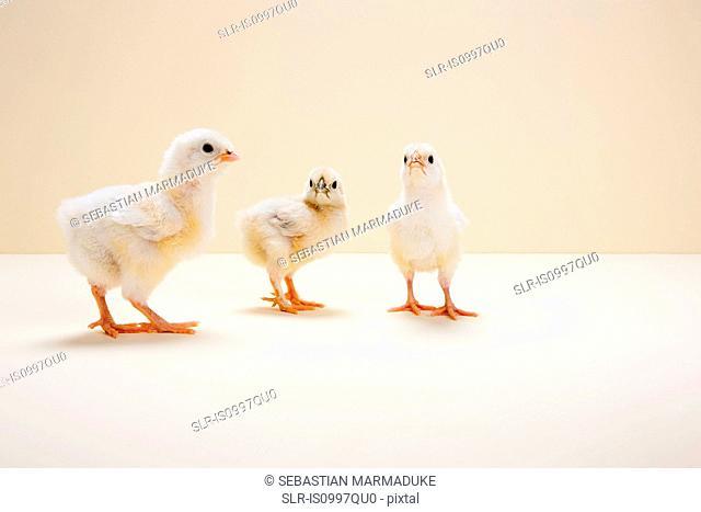 Three chicks against beige background, studio shot