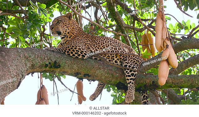 LEOPARD LAID IN SAUSAGE TREE; MAASAI MARA, KENYA, AFRICA; 31/01/2016