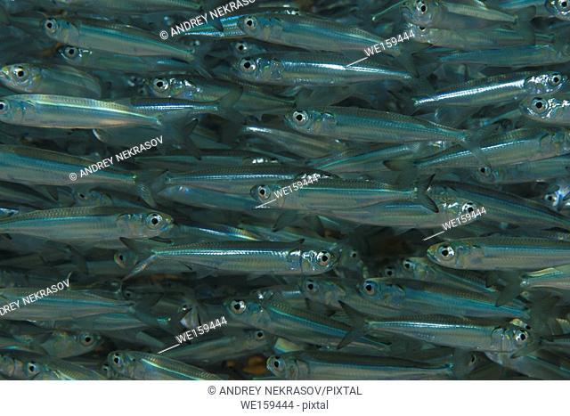 Massive school of fish