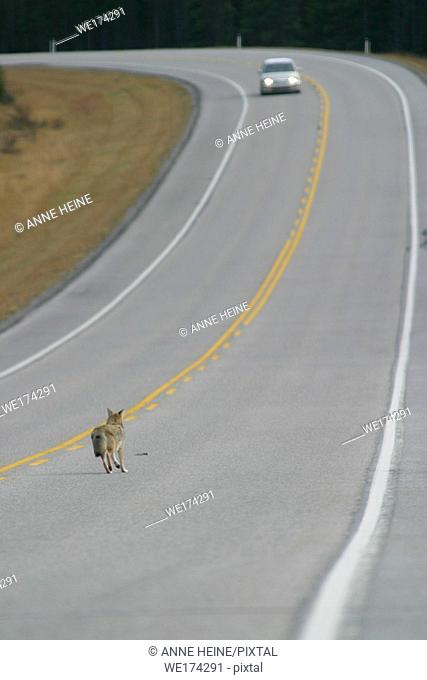 Coyote on street while car driving towards him, Kananaskis Country, Alberta, Canadian Rockies, Canada