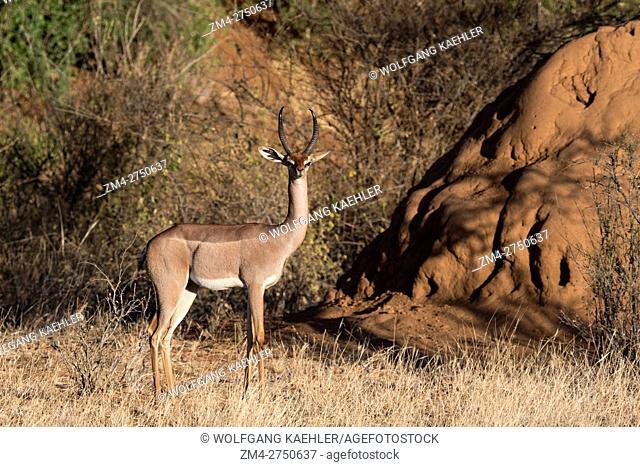 A male Gerenuk (Litocranius walleri) in Samburu National Reserve in Kenya
