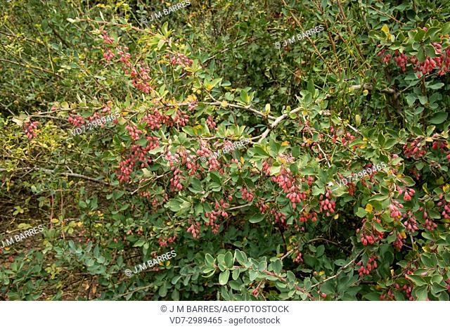 European barberry (Berberis vulgaris) is a thorny shrub with edible berries. This photo was taken in Montana Palentina, Palencia province, Castilla-Leon, Spain