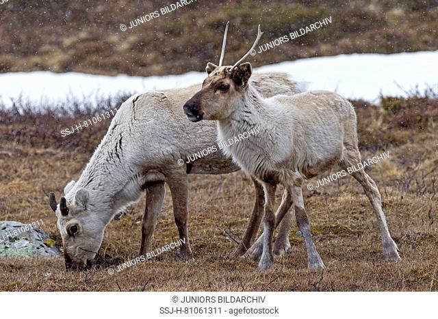 Reindeer (Rangifer tarandus), female , cow and calf of the previous year in snowdrift