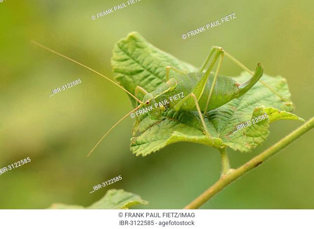 Krauss's Bush-cricket (Isophya kraussii) on a green leaf